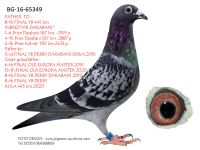 Breeding pigeon BG-16-65349