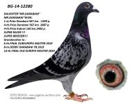 Breeding pigeon BG-14-12280